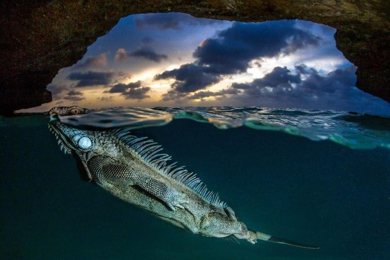 Natural World : Green Iguana