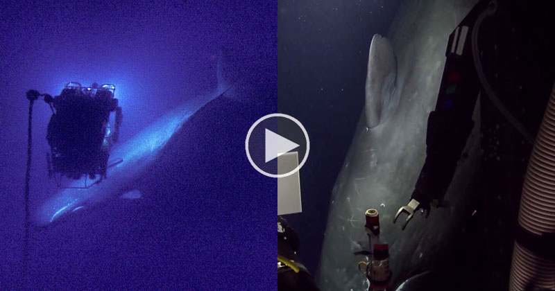 underwater-rov-encounters-sperm-whale-2000-ft-underwater