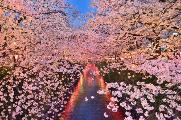 """Sakura light-up"" at megurogawa river"