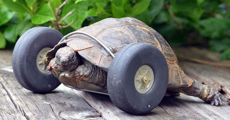 This 90 Year Old Tortoise Lost Her Front Legs So Her Owner Got Her a New Set of Wheels