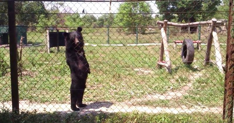Bizarre Video Captures Bear Walking Like aHuman