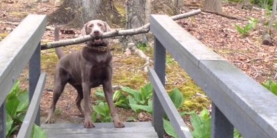 This Dog Just Found the Best Stick in the Forest. Now He Needs to Cross this NarrowBridge