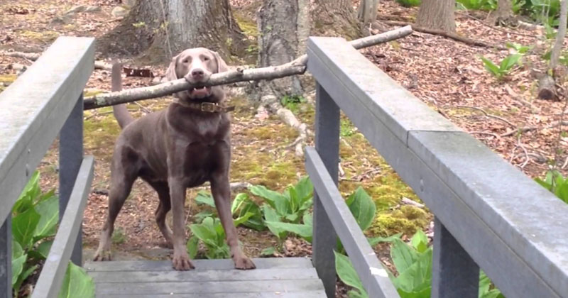 dog-with-big-stick-bridge-video