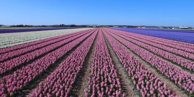This Drone Tour of Dutch Flower Fields is Simply Breathtaking