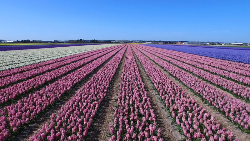 drone-tour-dutch-flower-fields-Keukenhof-netherlands