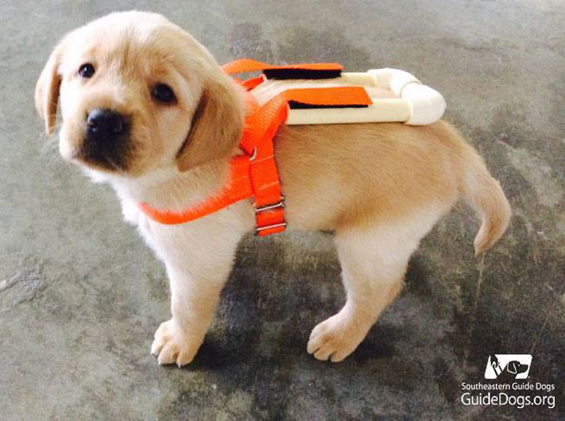 guide dog pup in training with tiny harness (1)