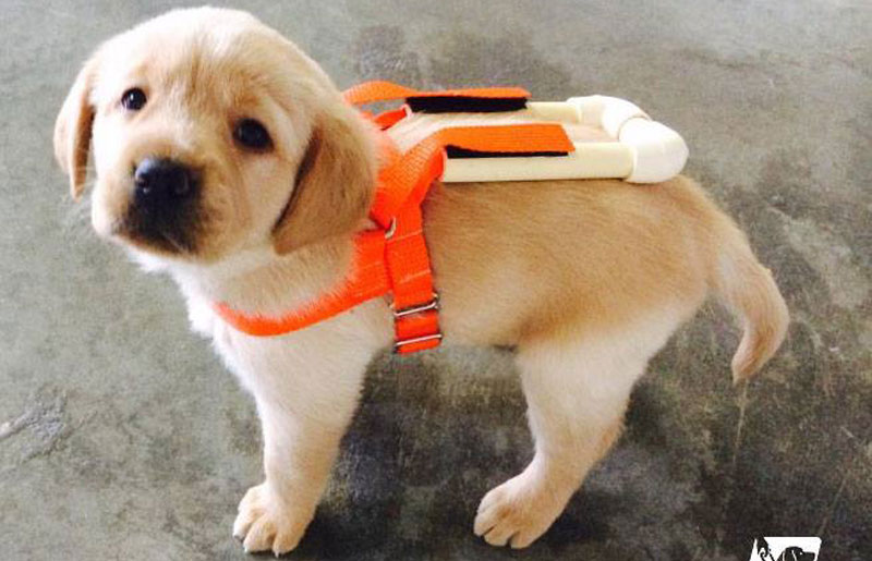 Picture of the Day: Guide Dog Pup in Training