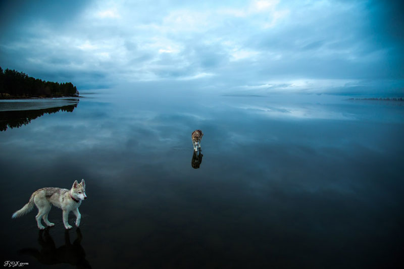 Husky Walks on Water After Heavy Rainfall Covers Frozen Lake Fox Grom (10)