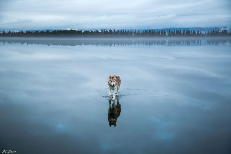 Husky Walks on Water After Heavy Rainfall Covers Frozen Lake Fox Grom (2)