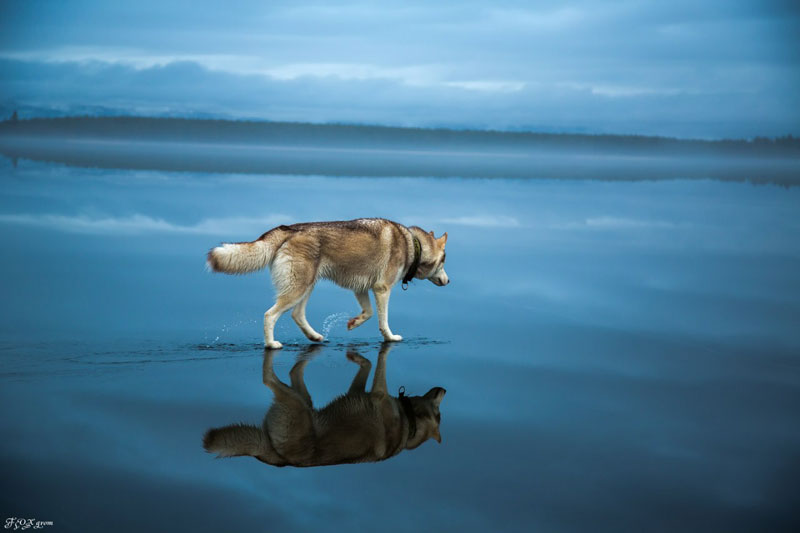 Husky Walks on Water After Heavy Rainfall Covers Frozen Lake Fox Grom (3)