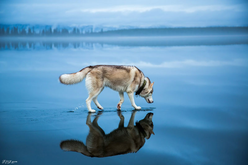 Husky Walks on Water After Heavy Rainfall Covers Frozen Lake Fox Grom (4)