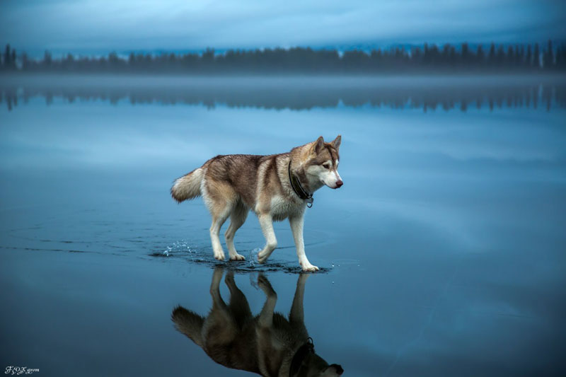 husky walks on water after heavy rainfall covers frozen lake fox grom 7 Mystical Night Photography from Finland by Mikko Lagerstedt