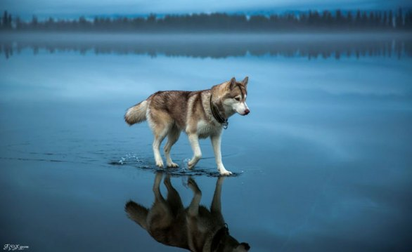 Husky-Walks-on-Water-After-Heavy-Rainfall-Covers-Frozen-Lake-Fox-Grom-(cover)