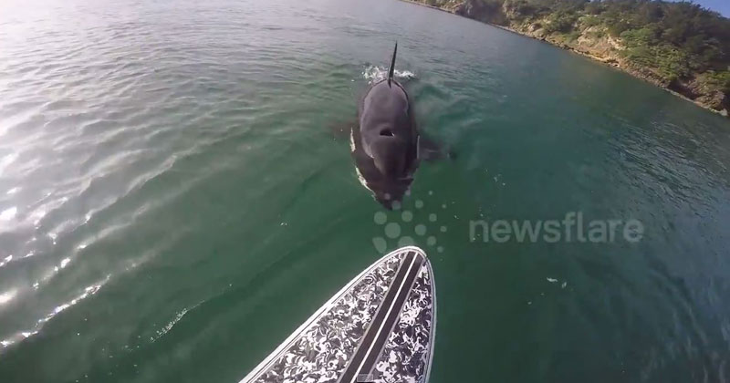 killer-whale-swims-underneath-a-paddleboarder