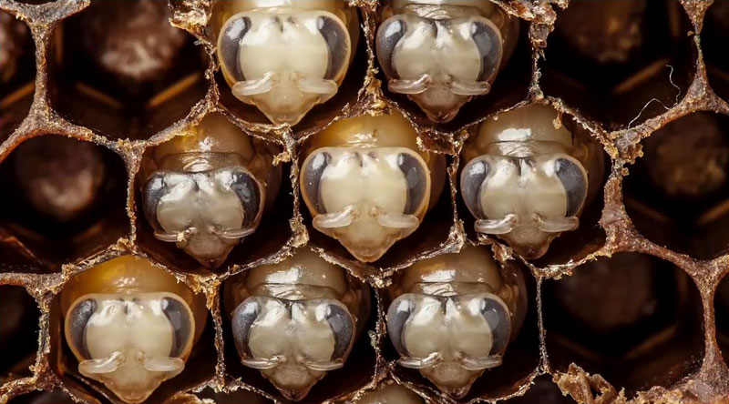 The First 21 Days of a Bee's Life Condensed Into 60 Seconds