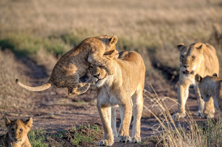 Lion cub playing with his mother