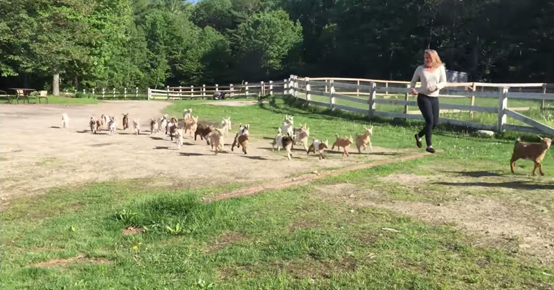 This Running of the Goats is Way Better than the BullVersion