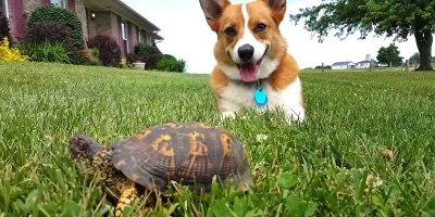 Corgi Mistakes Turtle for a Rock, Watch His Reaction When ItMoves