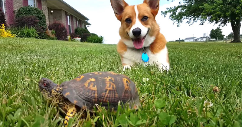 Corgi Mistakes Turtle for a Rock, Watch His Reaction When It Moves