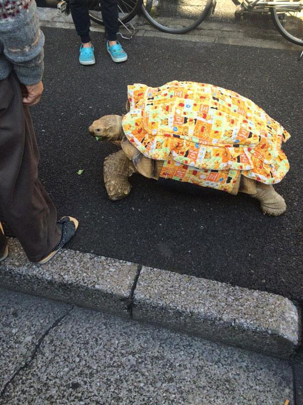 mitani hisao wakls his tortoise around tokyo (1)