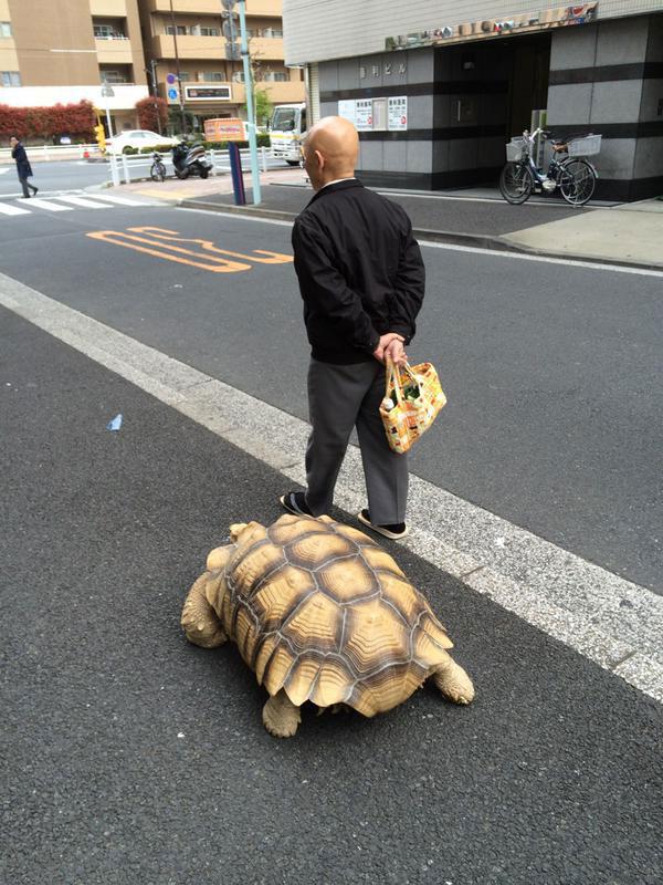 mitani hisao wakls his tortoise around tokyo (4)