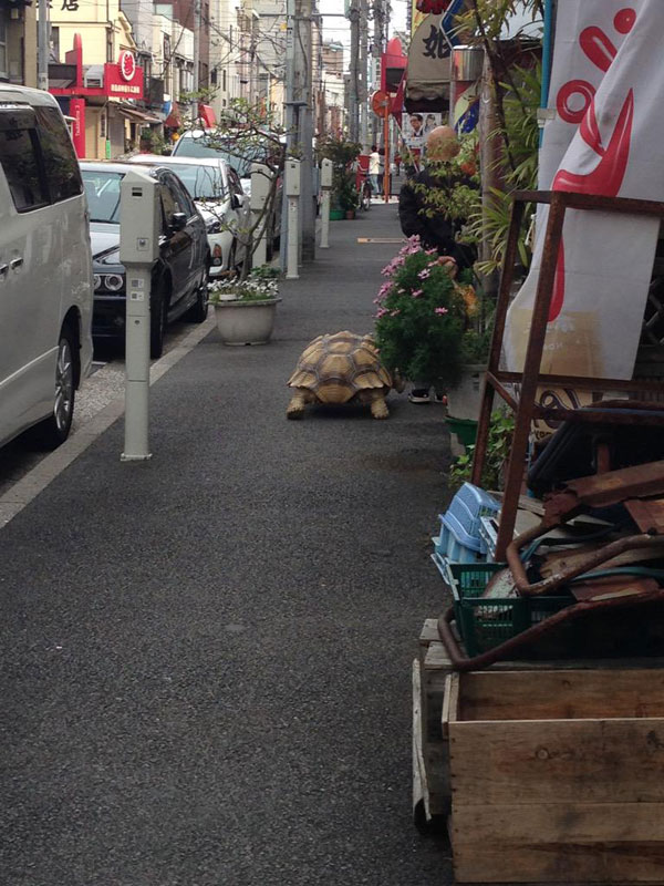 mitani hisao wakls his tortoise around tokyo (5)