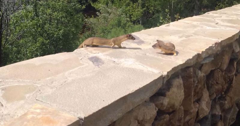 Baby Weasels FollowingMom
