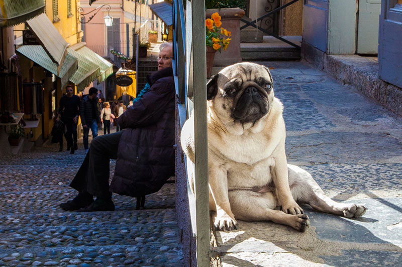 pug life bellagio lake como italy Picture of the Day: Pug Life