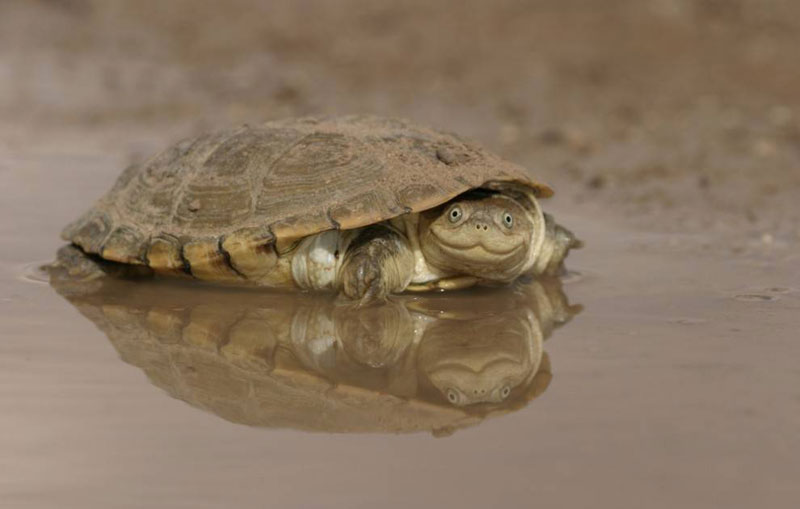 smiling turtle The Shirk Report   Volume 323