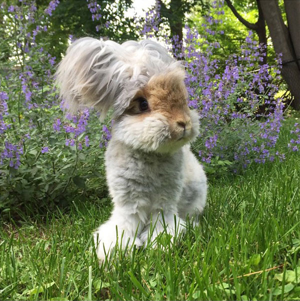wally the bunny rabbit instagram best ears ever (3)