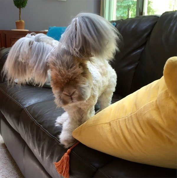 wally the bunny rabbit instagram best ears ever (6)