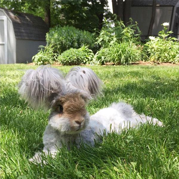wally the bunny rabbit instagram best ears ever (8)