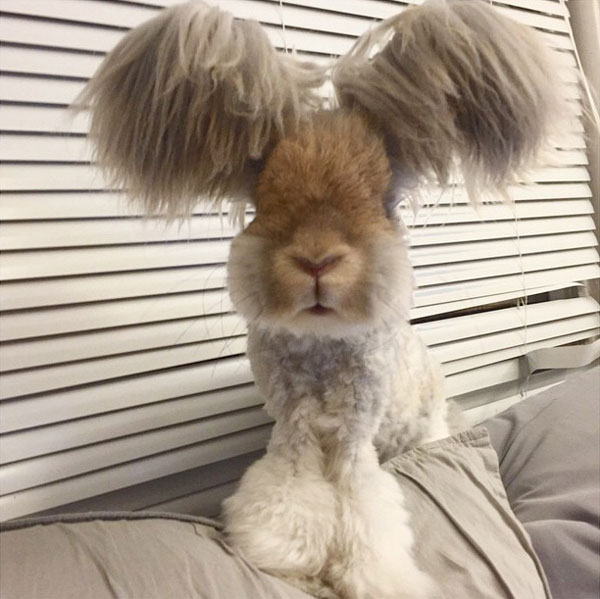 wally the bunny rabbit instagram best ears ever (9)
