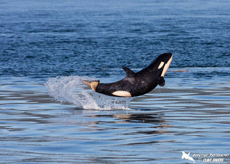Baby Orca Breaches Like a Boss
