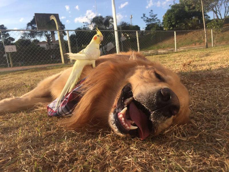 bob the golden retriever bird whisperer (13)