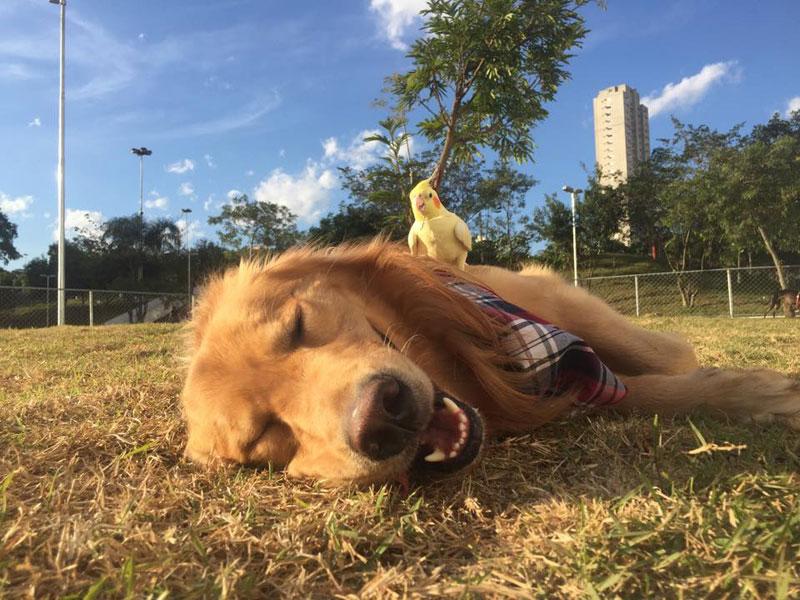 bob the golden retriever bird whisperer (16)