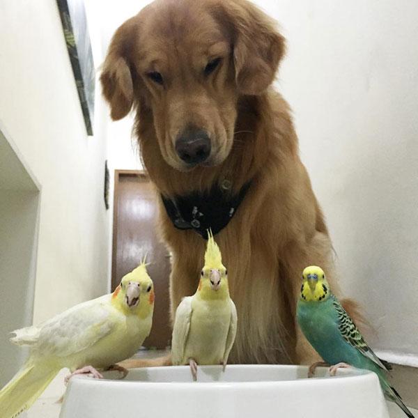 bob the golden retriever bird whisperer (20)