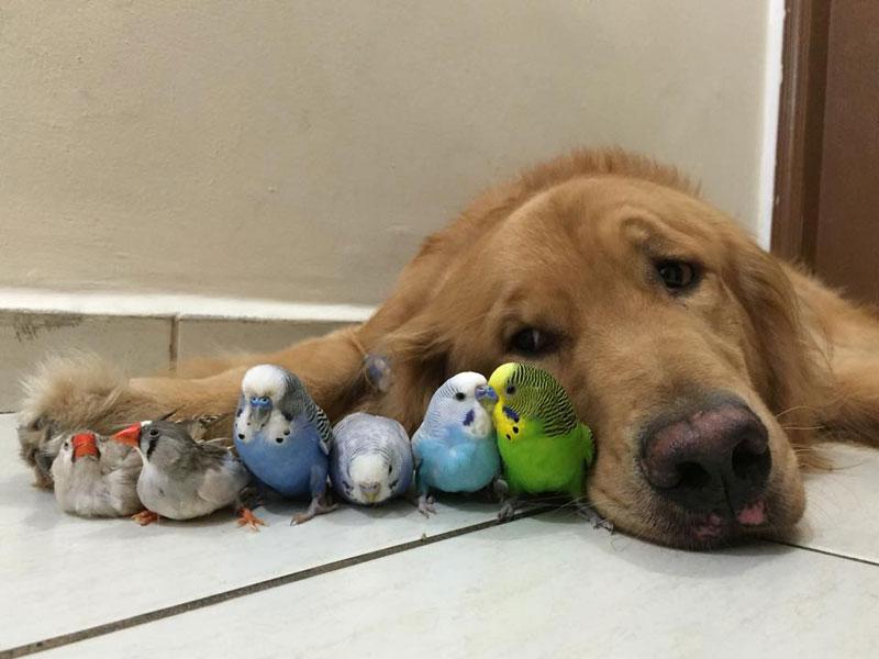 bob the golden retriever bird whisperer (5)