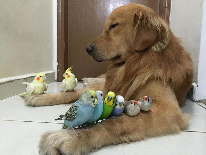 bob the golden retriever bird whisperer (8)