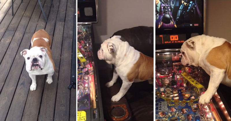 English Bulldog Absolutely LOVES Pinball