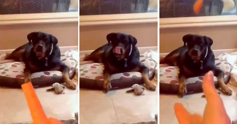 dog-tries-to-catch-carrot-stick
