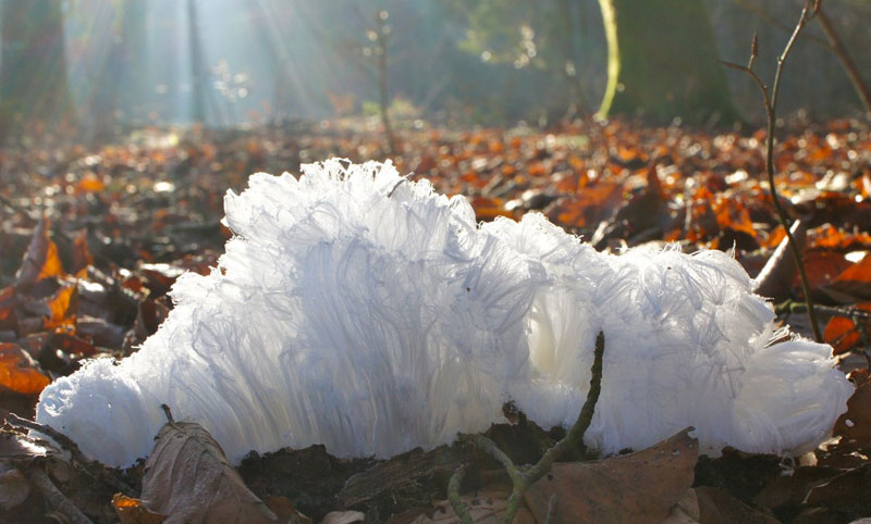 hair ice fungus christian matzler