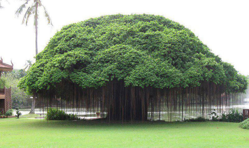Picture of the Day: Banyan Tree