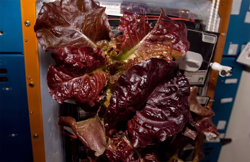 Astronauts on ISS Eat Veggies They Grew in Space