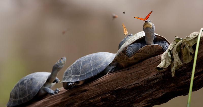 Picture of the Day: Butterflies Drinking Tears from Turtle Eyes