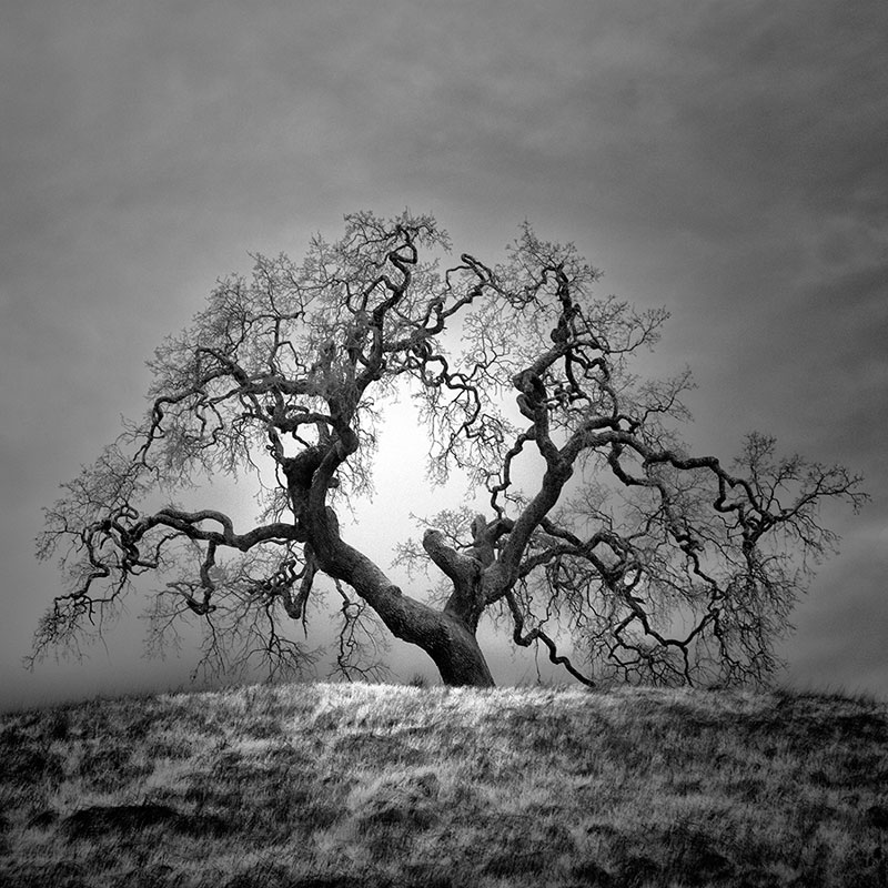 california trees infrared photography by nathan wirth  (2)