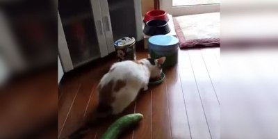 Cat Gets Freaked Out ByCucumber