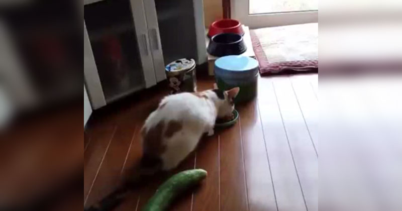 cat-gets-freaked-out-by-cucumber