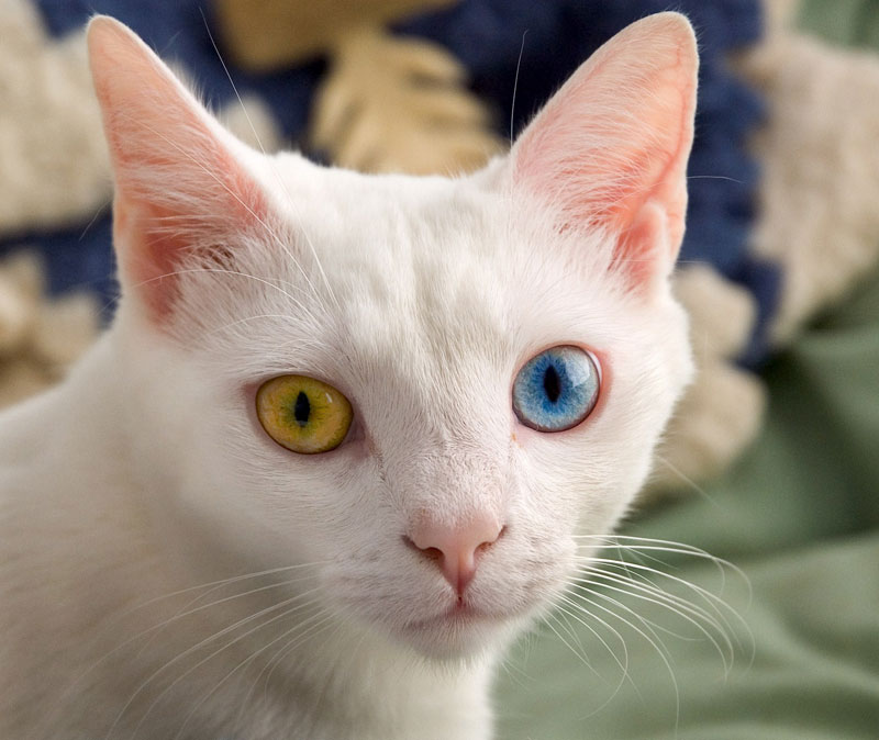 cat-with-two-different-colored-eyes Heterochromia iridum