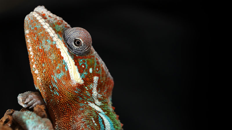 Chameleons Change Color to Stand Out Not Blend In_kqed pbs (3)